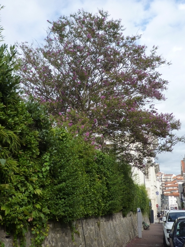 lilas des indes, lagerstroemia
